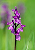 ORCHIS MASCULA EARLY PURPLE ORCHID