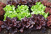 LACTUCA SATIVA LETTUCE MIXED