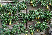 CONFERENCE PEAR PYRUS COMMUNIS, ESPALIER