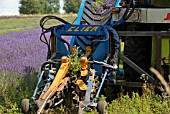 LAVANDULA HARVESTING USING A CLIER SHEAF BINDING TOOL, SNOWSHILL LAVENDER FARM