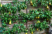 PYRUS COMMUNIS CONFERENCE PEAR ESPALIERED AGAINST GARDEN FENCE