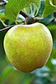 MALUS DOMESTICA HEREFORDSHIRE RUSSET