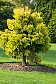 CALOCEDRUS DECURRENS BERRIMA GOLD