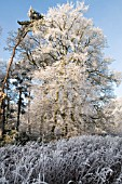 HOAR FROST ON BARE WINTER TREES, COOMBE ABBEY