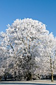 FAGUS SYLVATICA WITH HOAR FROST