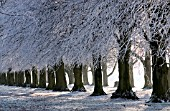 HOAR FROST ON HORSE CHESTNUT TREES EARLY WINTER COOMBE ABBEY PARK