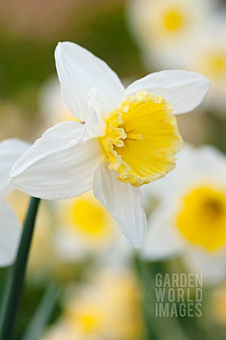NARCISSUS_ICE_FOLLIES