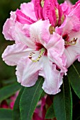 RHODODENDRON COTTON CANDY