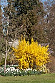 FORSYTHIA X INTERMEDIA WEEK END COURTALYN AT RHS GARDEN WISLEY WITH NARCISSUS LADY ROWAN