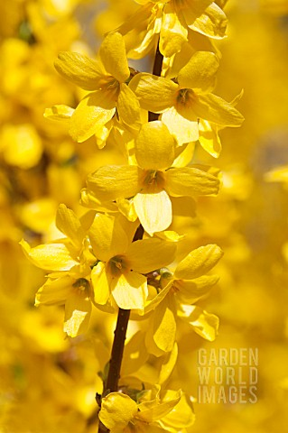 FORSYTHIA_X_INTERMEDIA_WEEK_END_COURTALYN