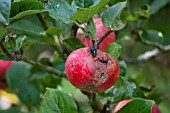 FRUIT DAMAGE ON APPLE DISCOVERY