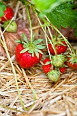 STRAWBERRIES RESTING ON STRAW
