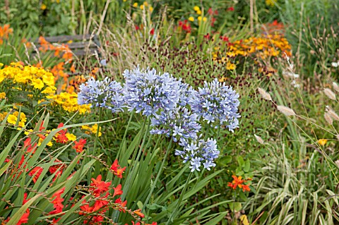 AGAPANTHUS_LULY_WITH_CROCOSMIA_WALBERTON__HELENIUM_DIE_BLONDE_AND_SANGUISORBA_OFFICINALIS