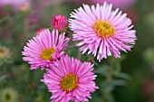 ASTER NOVAE-ANGLIAE PINK VICTOR