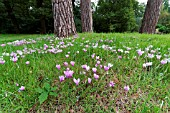 CYCLAMEN HEDERIFOLIUM NATURALISED IN GRASS