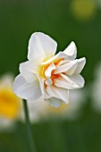 NARCISSUS ACROPOLIS DOUBLE DAFFODIL