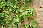 RED CURRANTS AGAINST WALL