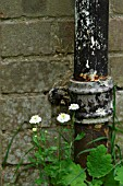 SMALL WHITE CHRYSANTHEMUMS GROWING BY DRAINPIPE