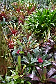 NEOREGELIA SPECIES COLLECTION AT SINGAPORE BOTANICAL GARDENS