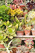 A COLLECTION OF SUCCULENTS, CACTUS AND OTHER TENDER PLANTS IN TERRACOTTA POTS