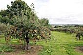 MALUS COXS ORANGE PIPPIN APPLE ORCHARD