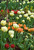 DWARF DOUBLE EARLY TULIPS ON DISPLAY