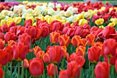 TULIPS ON DISPLAY AT HORTUS BULBORUM, LIMMEN, HOLLAND