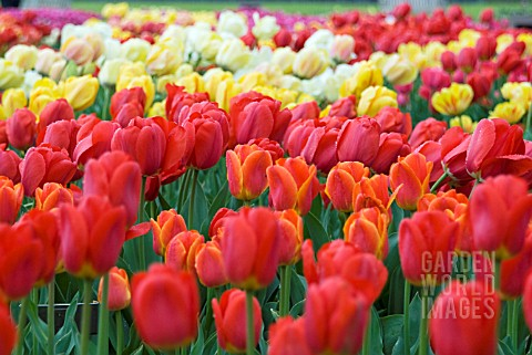 TULIPS_ON_DISPLAY_AT_HORTUS_BULBORUM_LIMMEN_HOLLAND