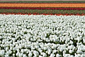 TULIP BULB FIELDS; LISSE; HOLLAND