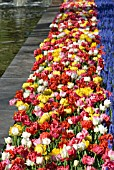 DOUBLE EARLY TULIP AND MUSCARI DISPLAY AT KEUKENHOF GARDENS, HOLLAND