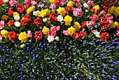 AERIAL VIEW OF DOUBLE EARLY TULIP AND MUSCARI DISPLAY AT KEUKENHOF GARDENS, HOLLAND