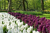 WHITE AND MAROON HYACINTH DISPLAY AT KEUKENHOF GARDENS, HOLLAND