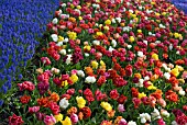 DOUBLE EARLY TULIPS AND MUSCARI ARMENIACUM