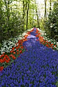 MUSCARI ARMENIACUM, TULIPA RED RIDING HOOD AND NARCISSUS PETREL AT KEUKENHOF GARDENS; HOLLAND