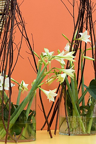 HIPPEASTRUM_LEMON_AND_LIME