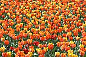 TULIP APRINSES MARGRIET, HERMITAGE AND PRINSES IRENE
