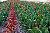 DEAD HEADING TULIPS IN TULIP FIELD TO BUILD UP ENERGY FOR NEXT YEARS BLOOMS