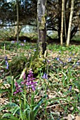 ORCHIS MASCULA; EARLY PURPLE ORCHID IN WOODLAND