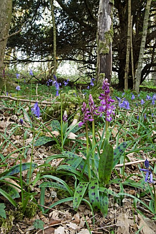 ORCHIS_MASCULA_EARLY_PURPLE_ORCHID_IN_WOODLAND