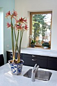 HIPPEASTRUM TANGO IN THE KITCHEN