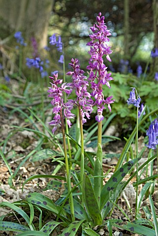 ORCHIS_MASCULA_EARLY_PURPLE_ORCHIDS