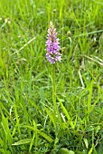 DACTYLORHIZA FUCHSII; COMMON SPOTTED ORCHID IN GRASS