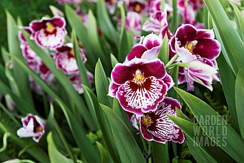 PINK_RED_AND_WHITE_MILTONIOPSIS_ORCHID