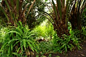ELAEIS GUINEENSIS; OIL PALM TRUNKS WITH FERNS