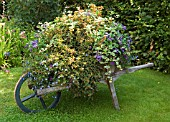 FLORAL DISPLAY IN OLD WHEELBARROW,  RHS GARDEN ROSEMOOR,  DEVON