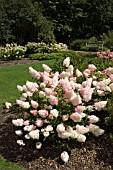 garden world images search hydrangeas. Black Bedroom Furniture Sets. Home Design Ideas