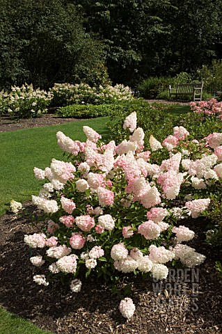jon2395 hydrangea paniculata 39 vanille fraise renhy 39 asset details garden world images. Black Bedroom Furniture Sets. Home Design Ideas