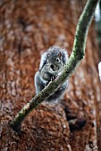 SCIURUS GRISEUS -WESTERN GRAY SQUIRREL