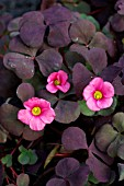 OXALIS RUBY SLIPPERS