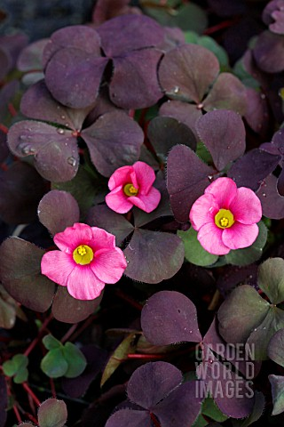 OXALIS_RUBY_SLIPPERS